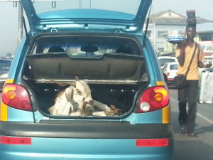 Doomed Goat in Taxi