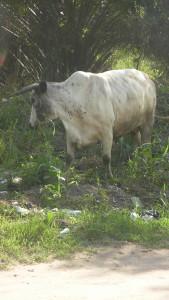 White Steer