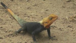 Ghana Lizard