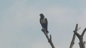 Ghana Crow